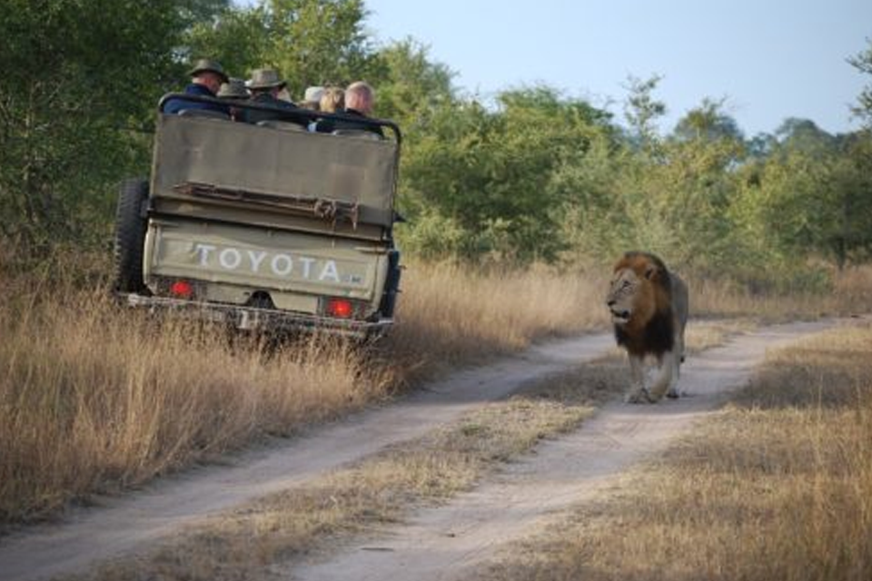 lion in south african reserve with guide van on dirt road
